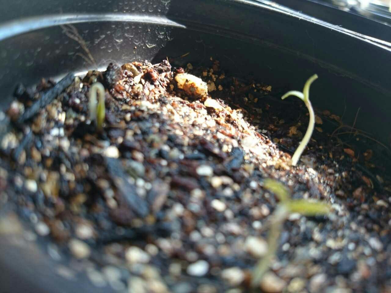 ミニトマトの芽2