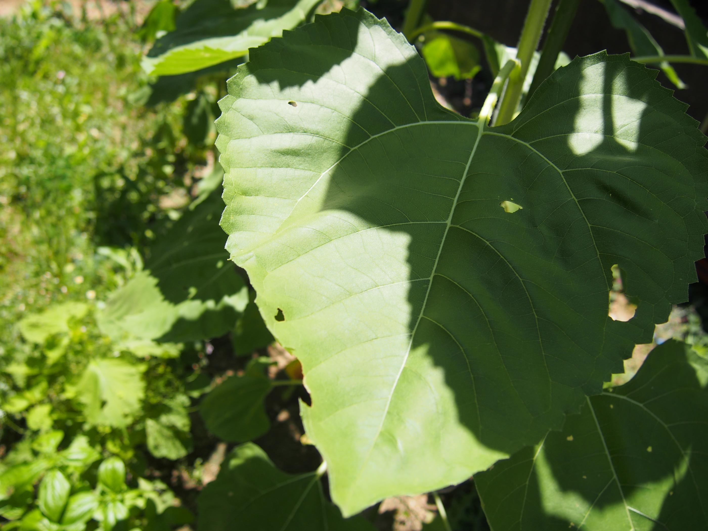 ひまわりの葉ハート