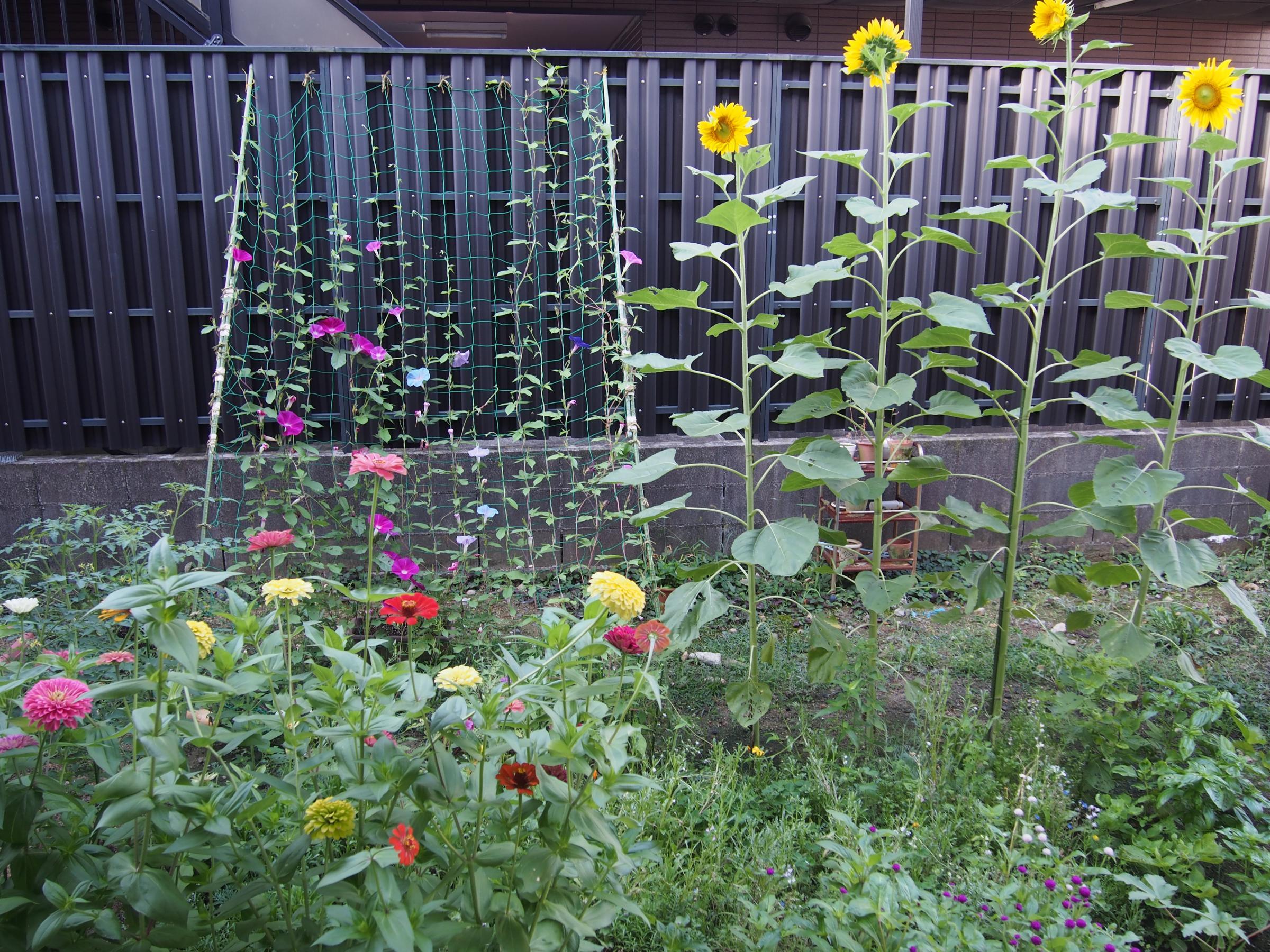 ひまわりの咲いた庭 朝