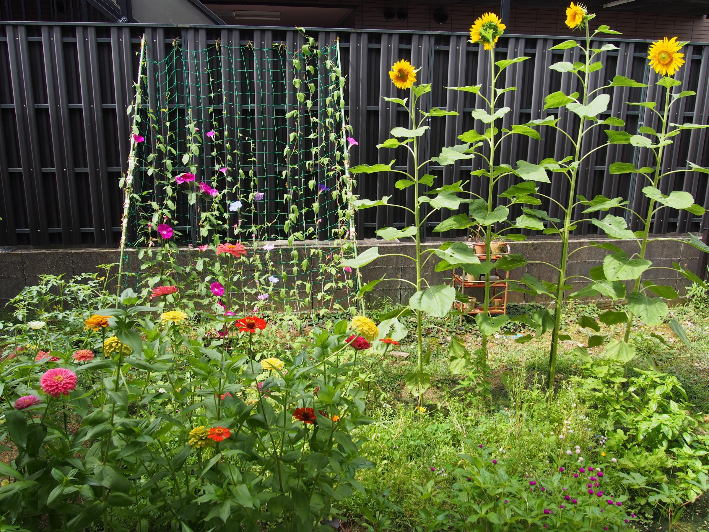 ひまわりの咲いた庭 おひる