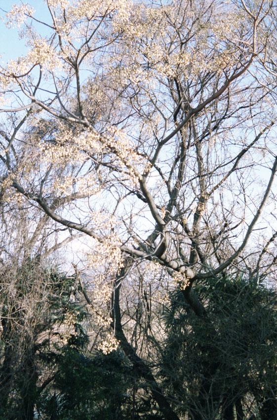 白い木の実が群れている
