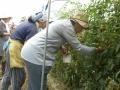 トマト収穫、ぱくっと食べてみます