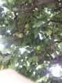梅収穫する