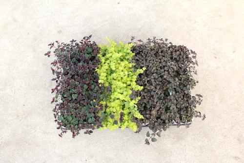 ペルシャン チョコレート(Lysimachia congestiflora) リシマキア ヌンムラリア オーレア(Lysimachia nummularia) ミッドナイトサン(Lysimachia congestiflora) 生産 販売 松原園芸