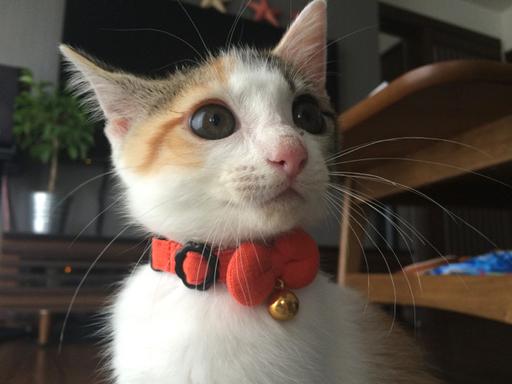 猫の首輪専門店mauha(千葉県K様)お写真1