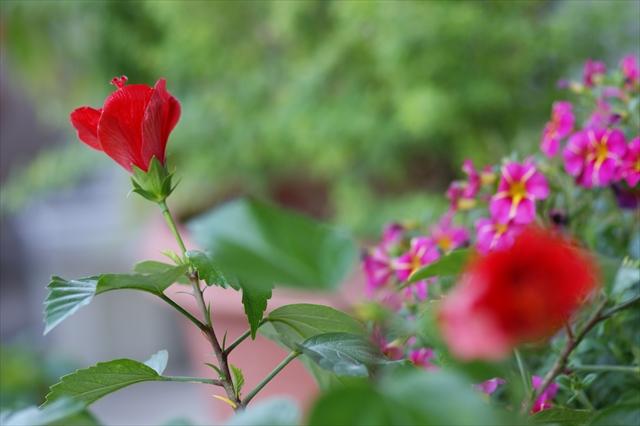 今から咲くハイビスカス-1