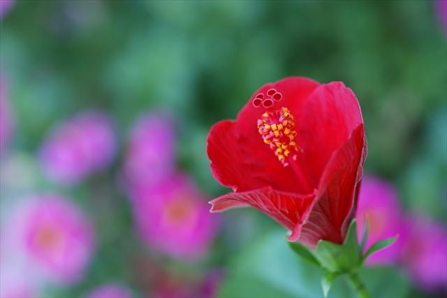 今から咲くハイビスカス-2