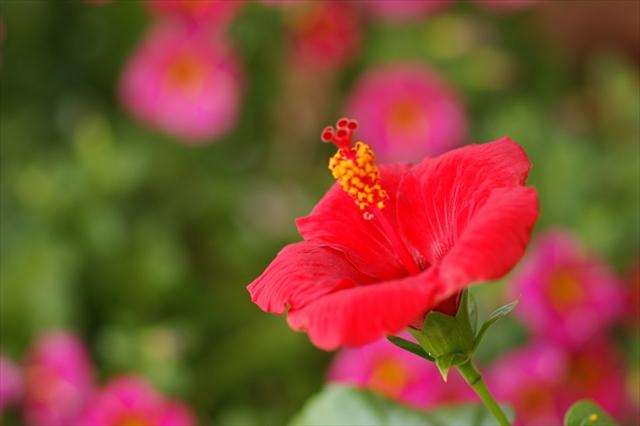 咲いたハイビスカス