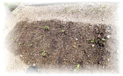 綿定植1-1