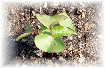 綿定植1-2