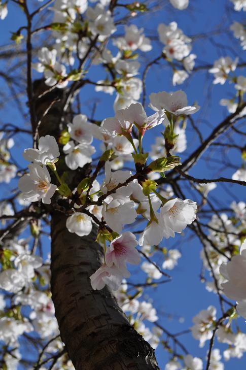 あおぞら桜