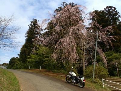 しだれ桜発見!!!