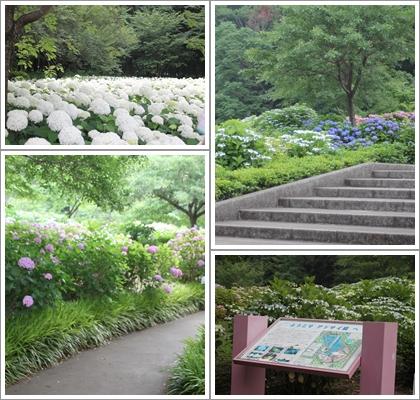相模原北公園紫陽花園