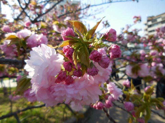 160411造幣局桜 (4)