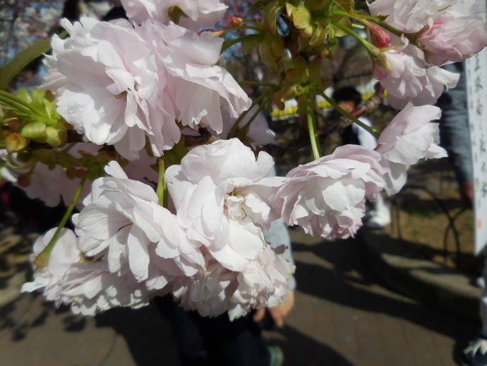 160411造幣局桜 (6)