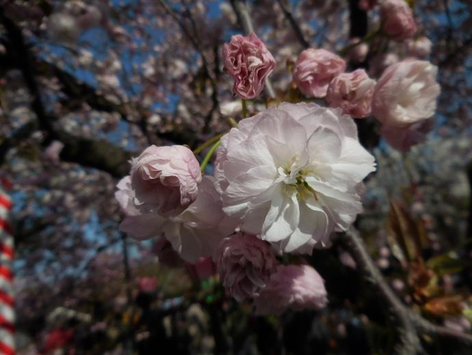 160411造幣局桜 (7)