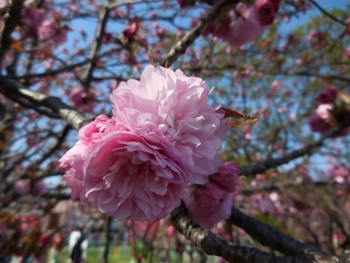 160411造幣局桜 (7-2)