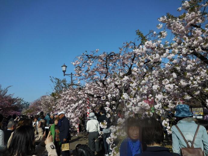 160411造幣局桜 (8)
