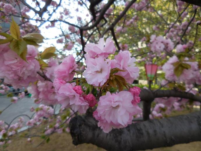 160411造幣局桜 (9)