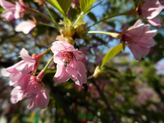 160411造幣局桜 (10-5)