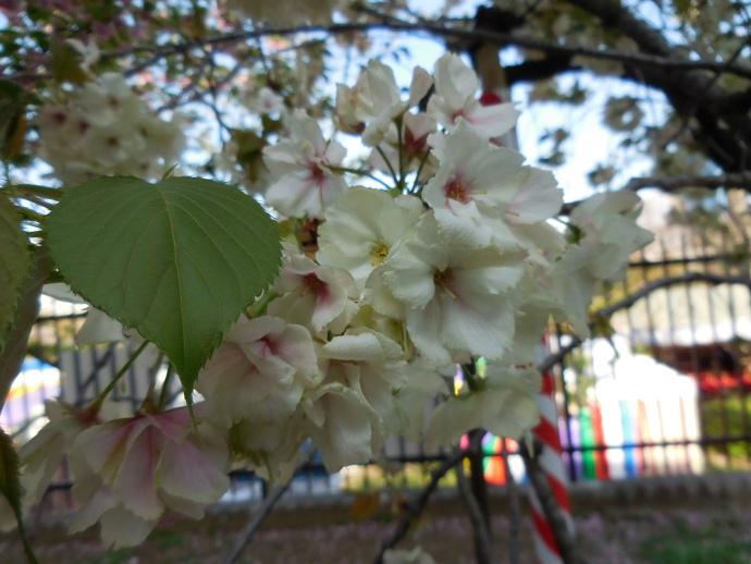 160411造幣局桜 (11)
