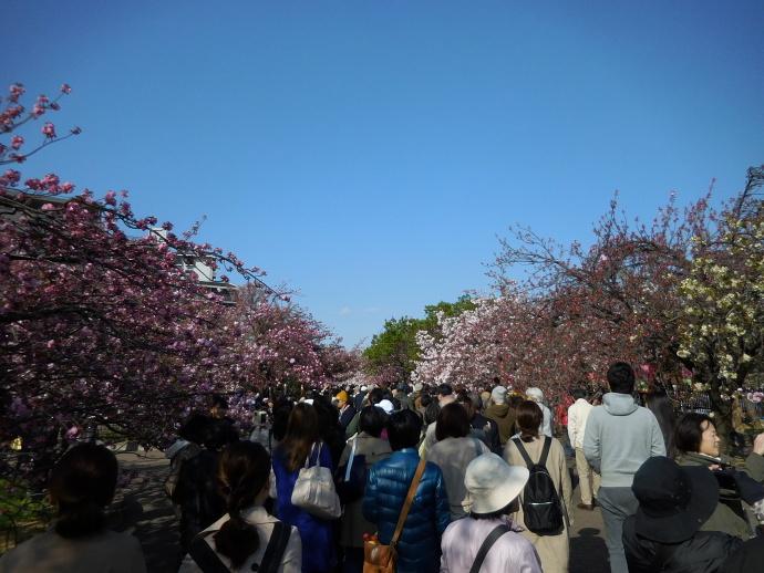 160411造幣局桜 (12)