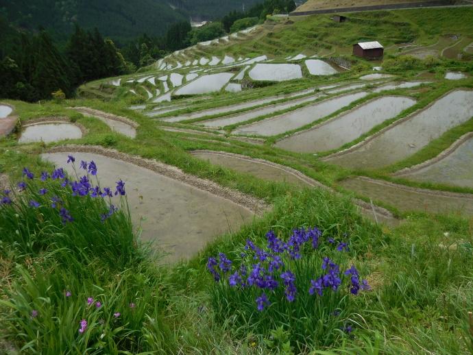 160503熊野千枚田 (4)