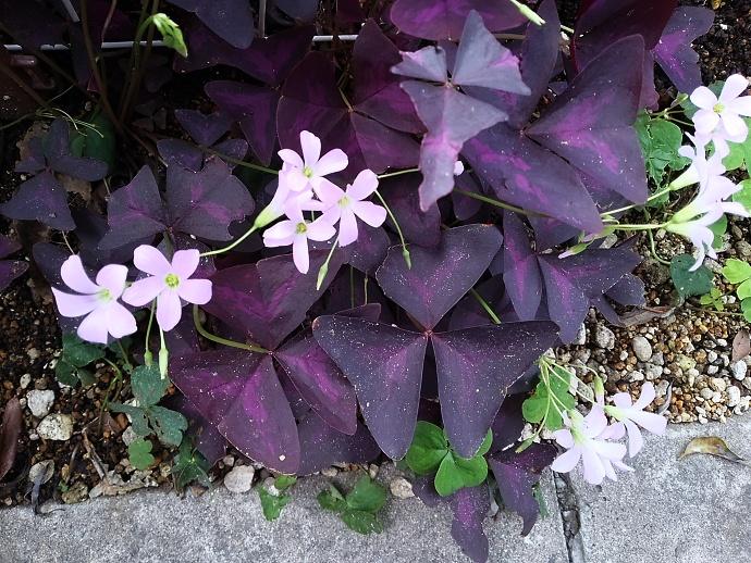 160926オキザリス トライアングラリス( 紫の舞 (1)