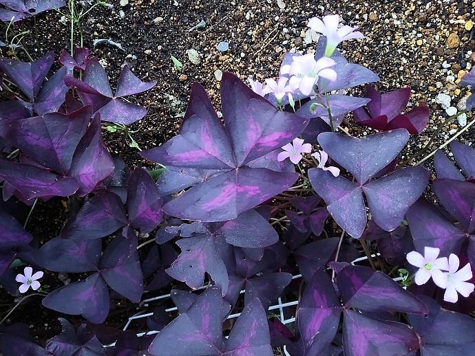 160926オキザリス トライアングラリス( 紫の舞 (2)