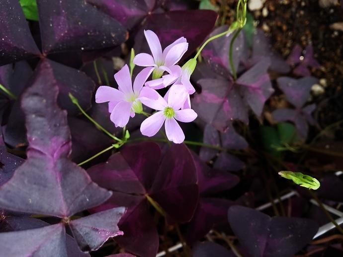 160926オキザリス トライアングラリス( 紫の舞 (3)