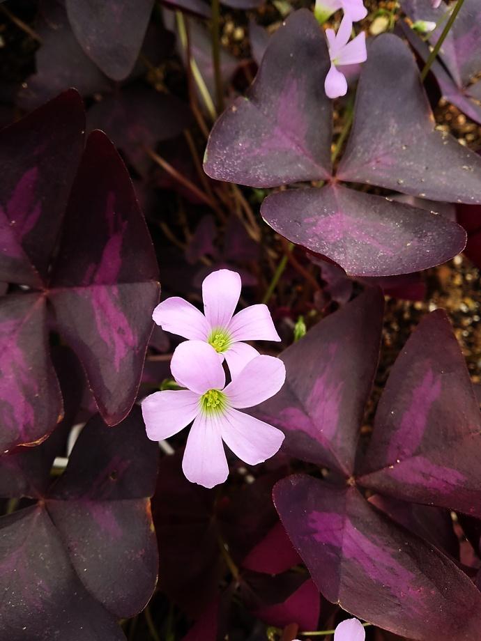 160926オキザリス トライアングラリス( 紫の舞 (4)
