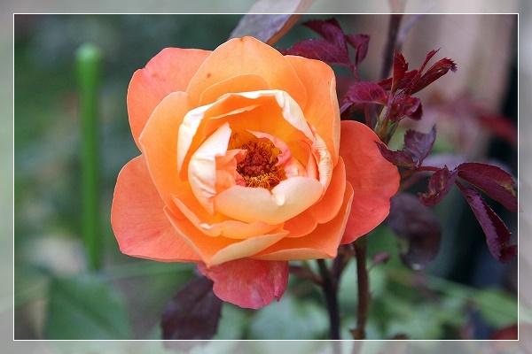 s-160611レディ・エマ・ハミルトンIMG_6090