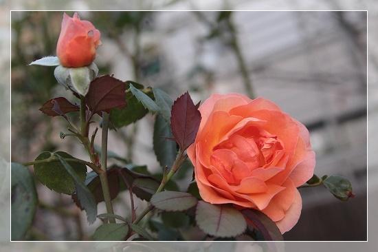 s-160928レディ・エマ・ハミルトンIMG_7466