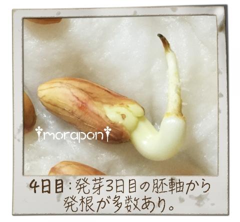 160906 落花生もやし栽培《4日目》-2