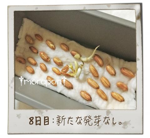 160910 落花生もやし栽培《8日目》-1