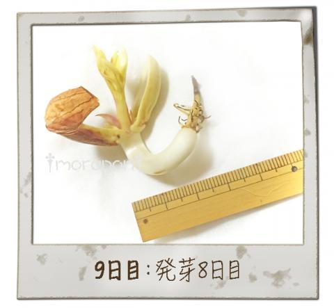 160911 落花生もやし栽培《9日目》-3