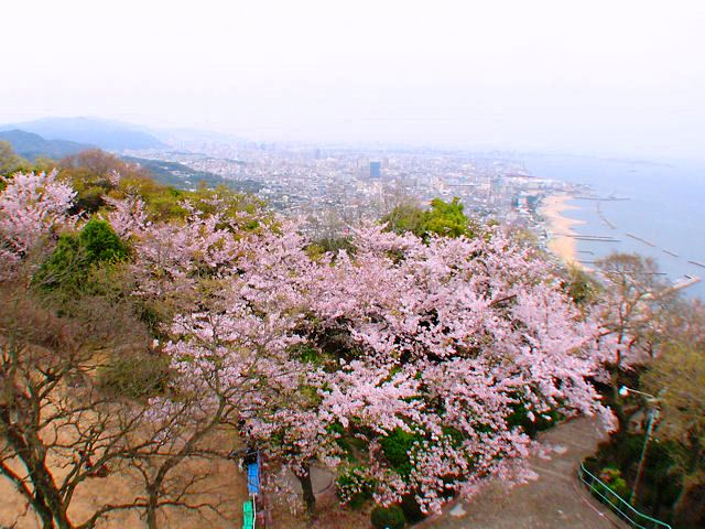 須磨の敦盛桜