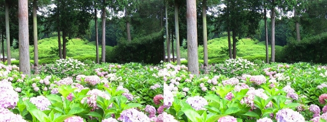 三室戸寺 アジサイ庭園⑲(平行法)
