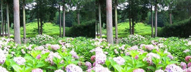 三室戸寺 アジサイ庭園⑲(交差法)