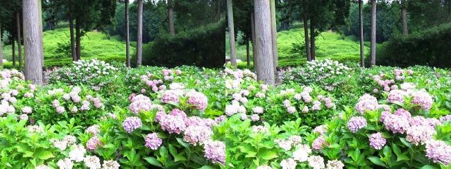三室戸寺 アジサイ庭園⑱(平行法)