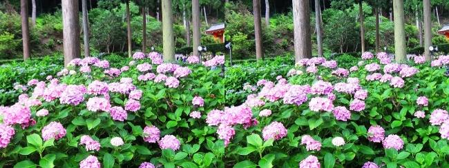 三室戸寺 アジサイ庭園⑮(平行法)