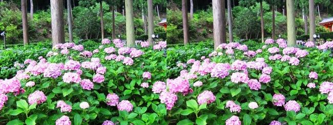 三室戸寺 アジサイ庭園⑮(交差法)