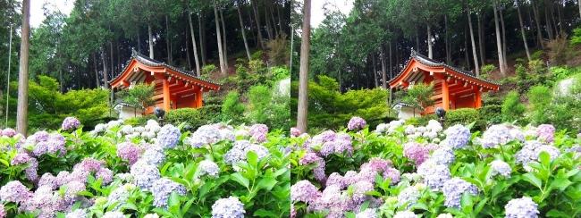 三室戸寺 アジサイ庭園⑪(交差法)