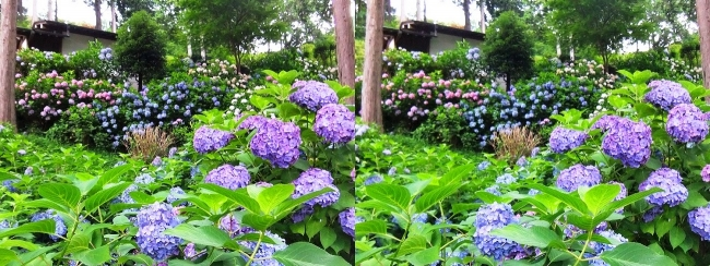 三室戸寺 アジサイ庭園⑥(平行法)
