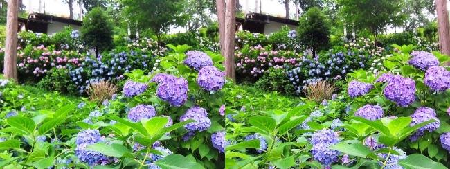 三室戸寺 アジサイ庭園⑥(交差法)