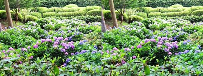 三室戸寺 アジサイ庭園④(平行法)