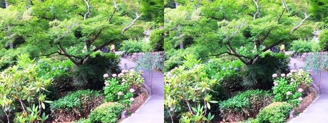 三室戸寺 アジサイ庭園①(平行法)