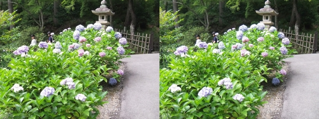 三室戸寺 石段からのアジサイ(平行法)