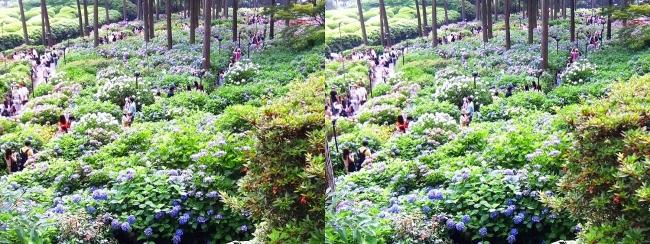 三室戸寺 参道からのアジサイ庭園⑥(平行法)