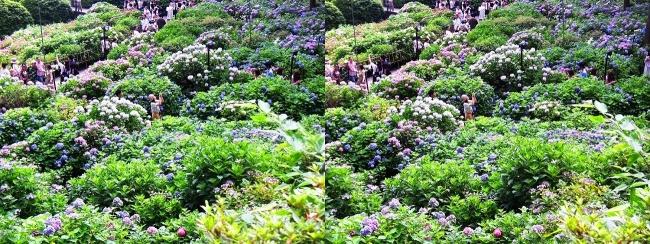 三室戸寺 参道からのアジサイ庭園⑤(交差法)